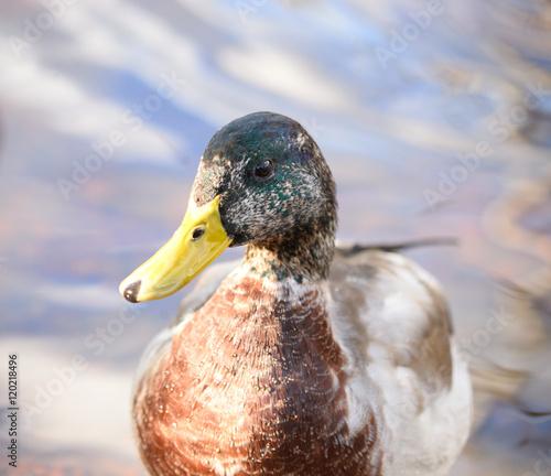 Staande foto Struisvogel Portrait of Mallard Duck close up.