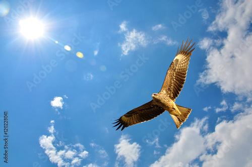 Poster Aigle Black Kite bird