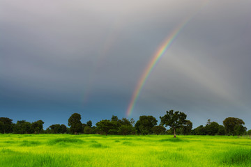 Rice field and sky with rainbow. Beautiful nature background. Ri