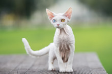 White Devon Rex Cat With Different Color Eyes Outdoors