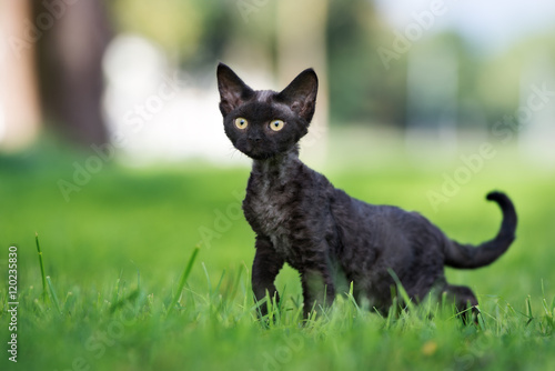 Photo  funny black devon rex kitten walking outdoors