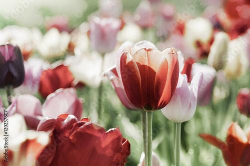 Obraz Kolorowe tulipany na łące - fototapety do salonu