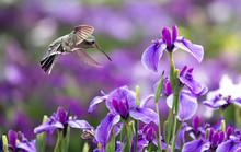 Annas Hummingbird In Flight Wi...