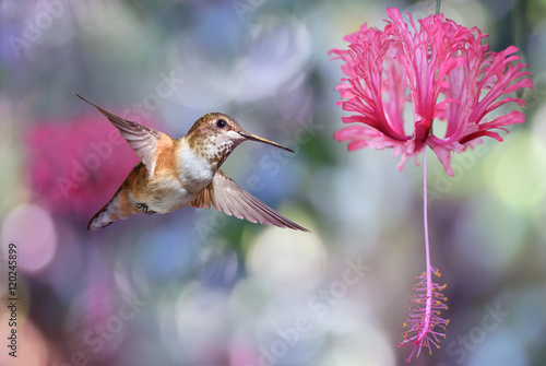 Annas Hummingbird over blurred purple background Canvas Print