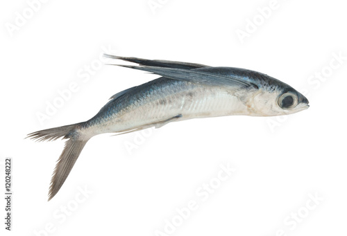 Tropical flying fish isolated Fototapeta