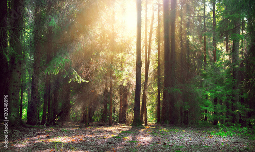 Fototapeten Wald Misty old forest with sun rays, shadows and fog