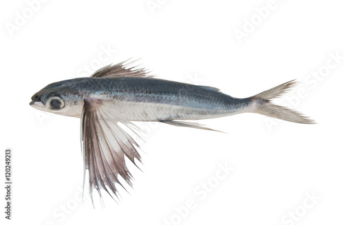 Fotomural Tropical flying fish isolated