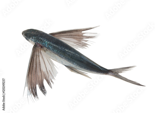 Tropical flying fish isolated Wallpaper Mural