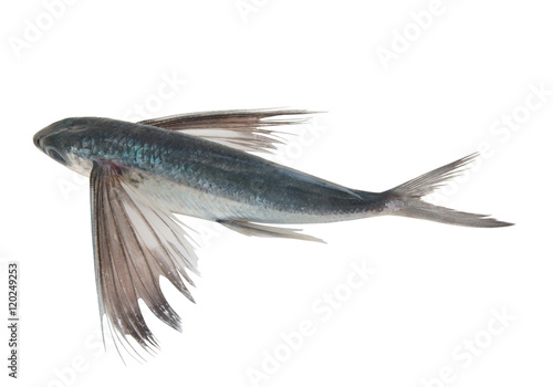 Fotografie, Obraz Tropical flying fish isolated