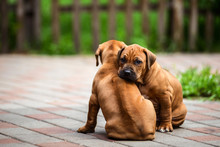 Two Cute Rhodesian Ridgeback Resting At The Yard