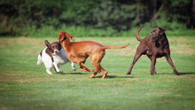 Three Dogs Playing On A Meadow