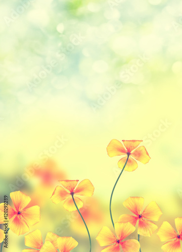 Poster Jaune Colorful beautiful flowers eschscholzia on the background of the