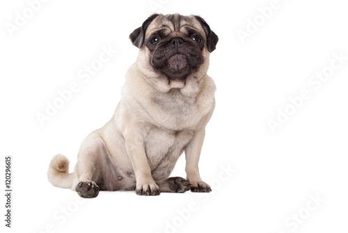 Aluminium Prints Dog schattige onderuitgezakt zittende hond, mopshond, met guitige snoet, geisoleerd op witte achtergrond