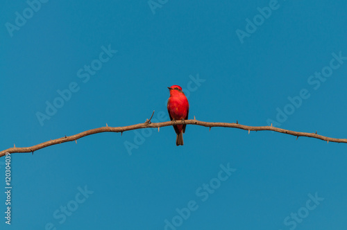 Photo  Principe do Pantanal bird perched on a branch full of thorns