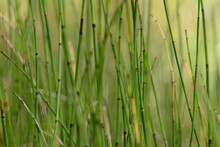 Horse Tail Reed