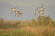 Pintail Ducks With Wings Spread In Flight