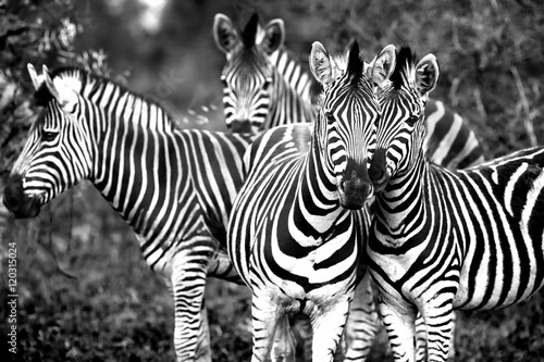 Cadres-photo bureau Zebra Family of a wild African zebras