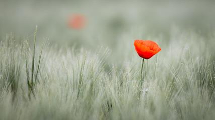 Fototapeta Maki Red poppy in cornfield