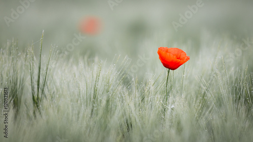 Fotoposter Poppy Red poppy in cornfield