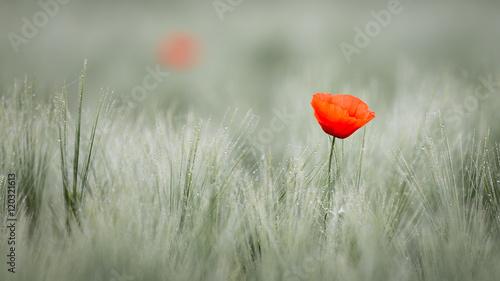 Poster Klaprozen Red poppy in cornfield