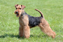 Typical Welsh Terrier  In The ...