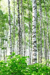 Fototapeta Brzoza summer in birch forest