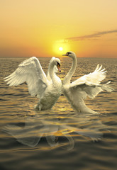 Obraz na SzkleA pair of graceful swans splashing in the waves of the sea. On sunset background.