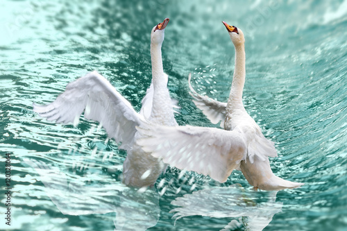 Poster Cygne A pair of graceful swans splash in the waves of the sea.