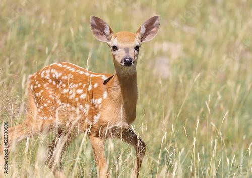 Poster Deer bébé chevreuil