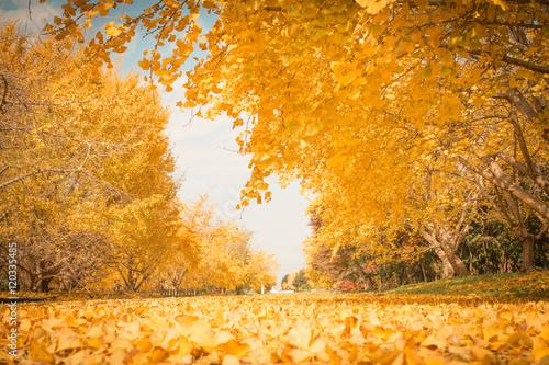 Aluminium Prints Autumn 銀杏の広場