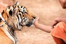 A Monk Playing With Tame Tiger