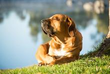 Boerboel Dog Enjoying Morning Sun