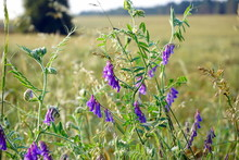 Vicia Cracca (tufted, Cow, Bird, Blue, Boreal Vetch).  A Striking Member Of The Pea Family (Fabaceae)