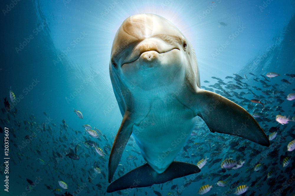 Fototapeta dolphin underwater on reef close coming to you
