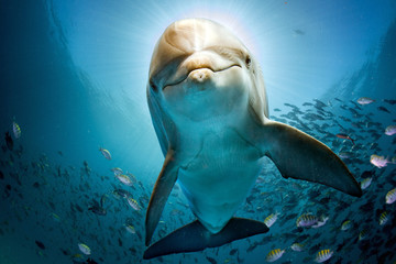 Fototapeta Delfin dolphin underwater on reef close coming to you