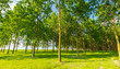 Bright summer scenery in a poplar forest, with lush green foliage