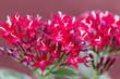Red Egyptian starcluster or Star flower
