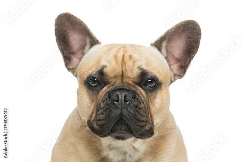 Foto auf Leinwand Französisch bulldog Beautiful french bulldog dog