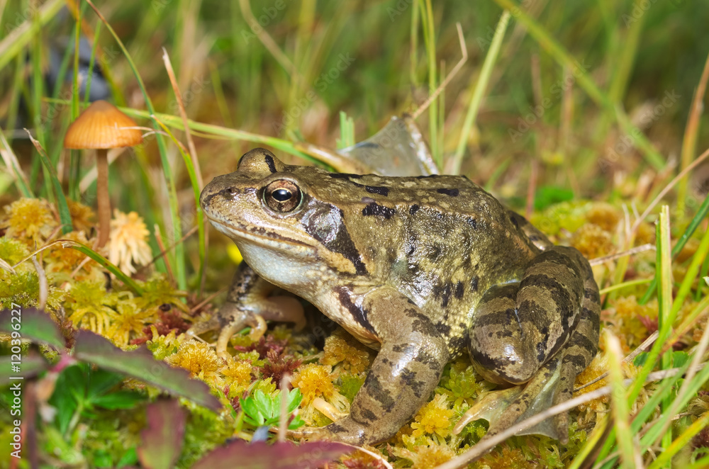 European common brown frog (Rana temporaria) on the Alps with a mushroom on the background