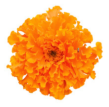 Beautiful Orange Marigold Flow...