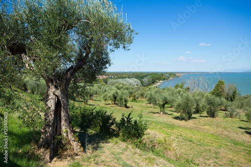 Tuinposter Olijfboom un paysage en italie avec des oliviers devant un lac