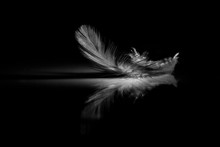Reflection Of Feather On A Black Background
