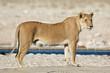 canvas print picture - A lioness (Panthera leo) at a waterhole, Etosha National Park, Namibia.