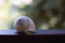 Empty Old White Snail Shell On A Wooden Board, Garden Background. Focus On A Spiral Shell.