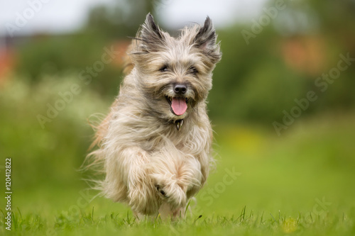 Happy and smiling dog running Wallpaper Mural