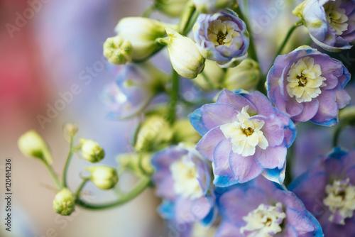 Foto Purple flowers of ornamental plant Delphinium