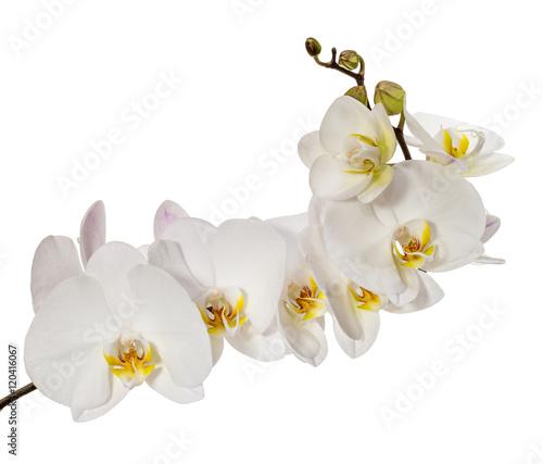 biala-kwiaty-orchidei