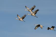 Five Sandhill Cranes In Flight Blue Sky