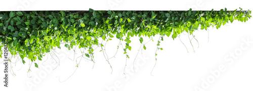 Fotomural  vine plants isolate on white background