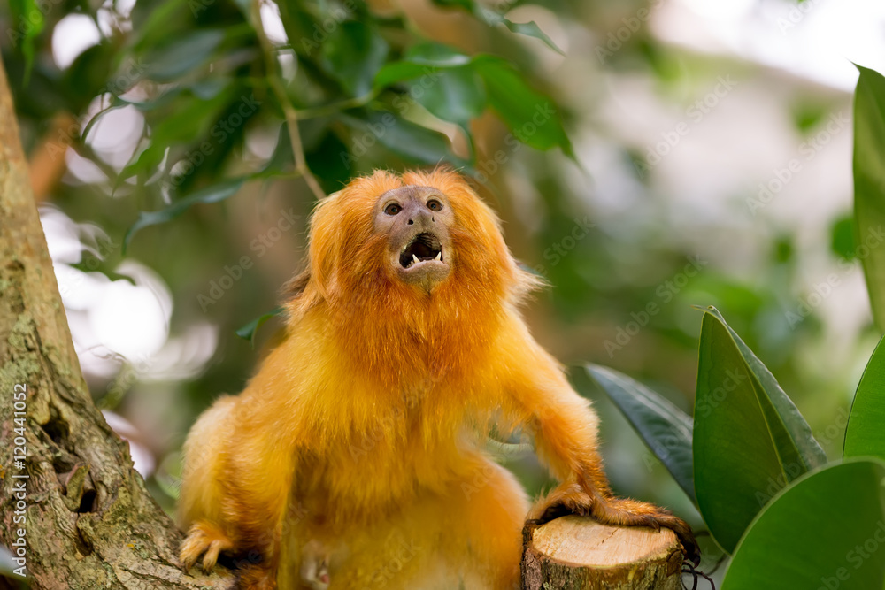 Fotografie, Obraz Golden Lion Tamarin